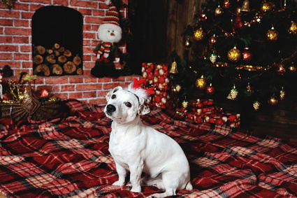 dog breed Jack Russell terrier lying beside the fireplace in the plaid under the Christmas tree. The dog breed Jack Russell Terrier hat on his head in the form of deer horn