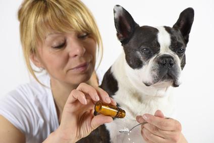 Boston Terrier beim Tierazt in Behandlung mit Globuli