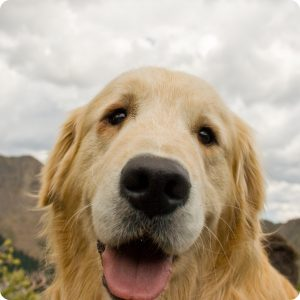 A beautiful golden retreiver puppy face.